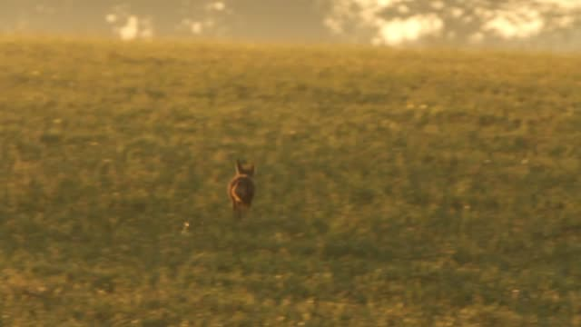 detail of fox (vulpes vulpes) crossing field - fox stock videos and b-roll footage