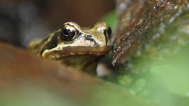 detail of frog (rana temporaria) - baden wurttemberg stock videos and b-roll footage
