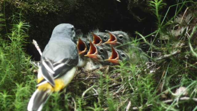 detail of grey wagtail (motacilla cinerea) feeding chicks in nest - animal nest stock videos & royalty-free footage