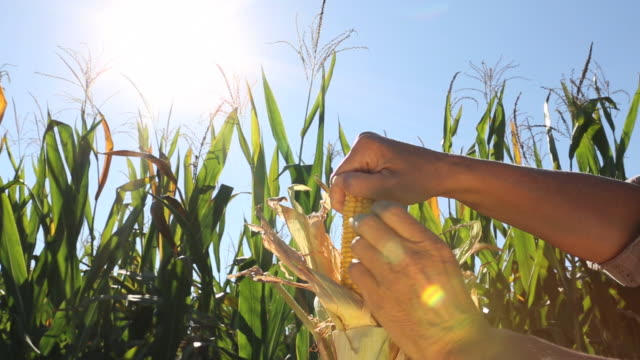 detail of hand removing corn husk, corn field behind - モロコシ点の映像素材/bロール