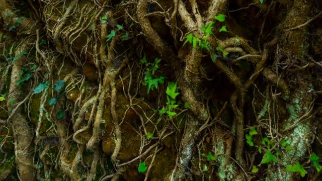 vídeos de stock, filmes e b-roll de detail of ivy in the forest - trepadeira