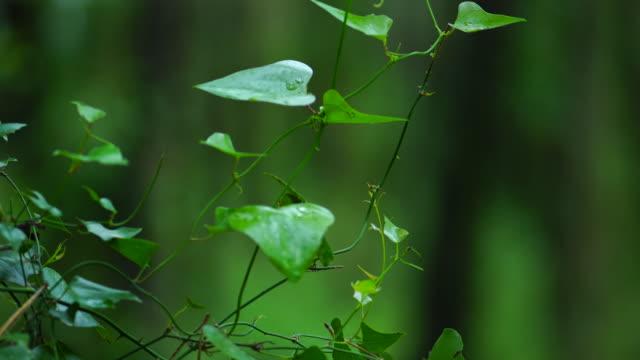 vídeos y material grabado en eventos de stock de detail of ivy leaves, dunas de liencres natural park, pielagos municipality, cantabria, spain, europe - pinar