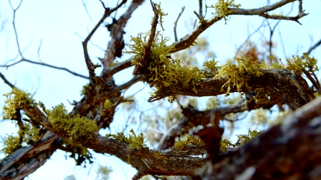 Detail of lichen on a twisted branch of juniper wood and sky Spring Sutton Mountain John Day Great Basin High Desert Columbia Plateau