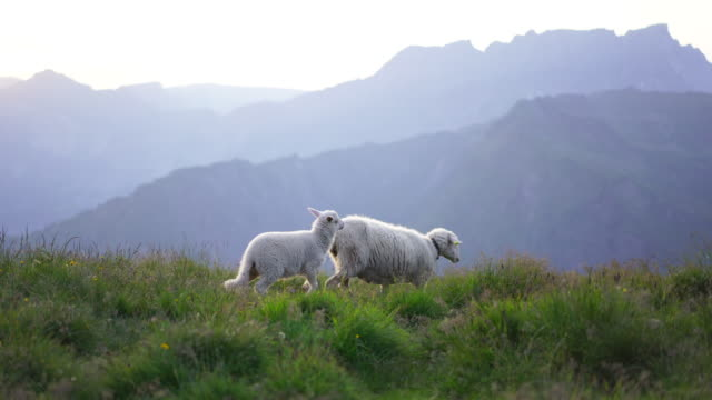 detail of mother and baby sheep walking at sunset - sheep stock videos & royalty-free footage