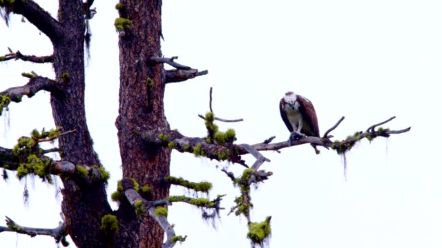 detail of osprey eating a fish in natural habitat 2 - osprey stock videos & royalty-free footage