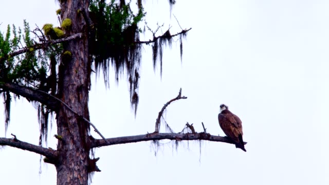 detail of osprey eating a fish in natural habitat 7 - digital enhancement stock videos and b-roll footage