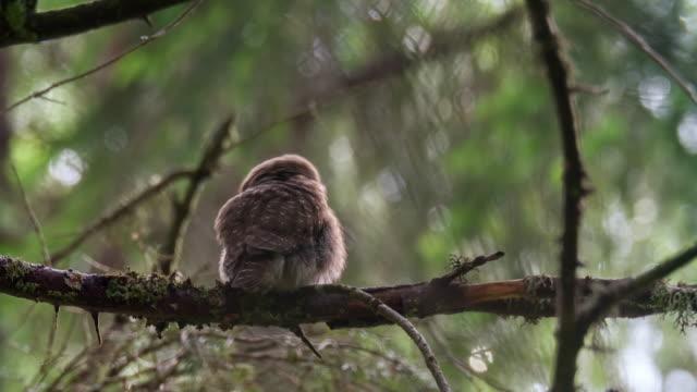 vídeos y material grabado en eventos de stock de detalle de buho (strigiformes) en bosque - posición elevada