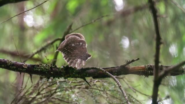 貓頭鷹 (貓頭鷹) 的細節在森林裡 - 10秒或更長 個影片檔及 b 捲影像