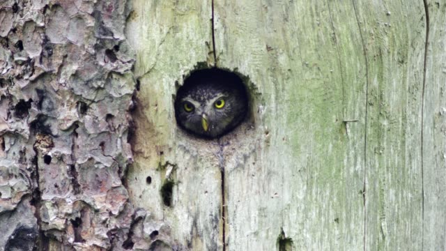 detail of owl (strigiformes) - hole stock videos & royalty-free footage