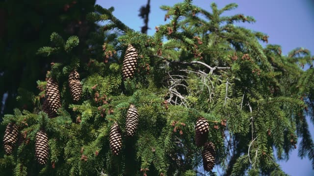 detail of pine cones on tree top - pinecone stock videos & royalty-free footage