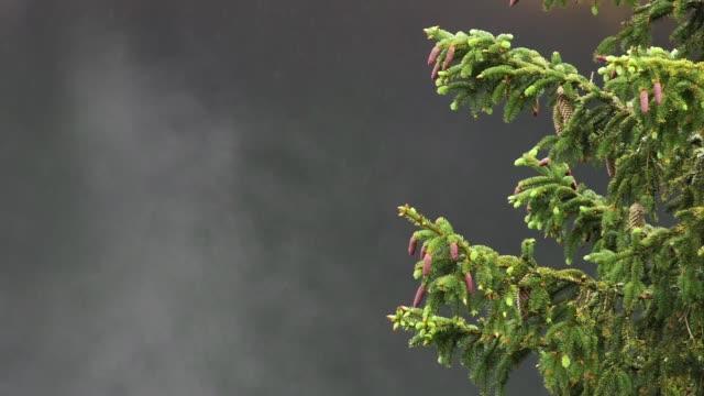 vídeos de stock, filmes e b-roll de detalhe de galhos de árvores de pinho no nevoeiro - pinhal