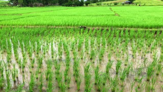 Detail der Reis Ohr auf der Oberseite eine Reispflanze wächst auf wunderschöne Paddy Reisfeld am landwirtschaftlichen Biobauernhof in sonniger.