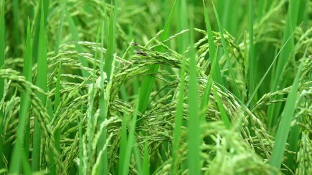 Zeitlupe: Detail des Reis Ohr auf der Oberseite eine Reispflanze wächst auf wunderschöne Paddy Reisfeld am landwirtschaftlichen Biobauernhof in sonniger Bali. Reife Samen an einem Stiel. Körner vor Herbsternte