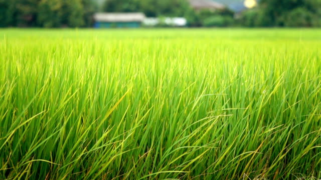 slow motion: detail of rice ear on the top of a rice plant growing on gorgeous rice paddy field on an organic agricultural farm in sunny bali. ripe seeds on a stem. grains before autumn harvest - rice paddy stock videos and b-roll footage