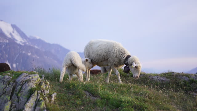 detail of sheep on mountain top at sunset - cinque animali video stock e b–roll