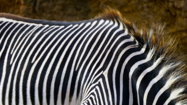 detail of skin on a grevy`s zebra, cabárceno natural park, pisueña valley, municipality of penagos, cantabria, spain, europe - grasen stock-videos und b-roll-filmmaterial