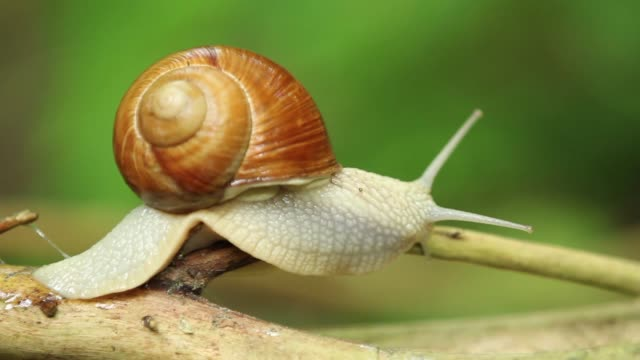 detail of snail (helix pomatia) crossing plant stalk - 40 o più secondi video stock e b–roll