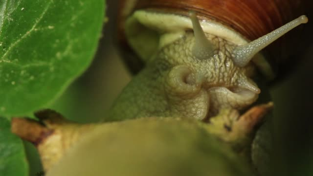 detail of snail (helix pomatia) crossing plant stalk - animal antenna stock videos & royalty-free footage