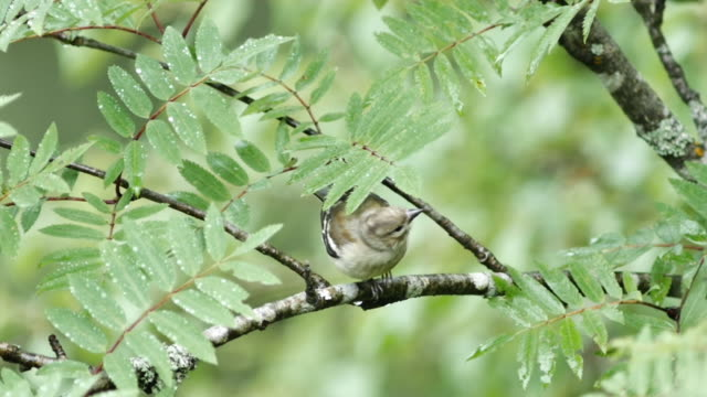 detail of sparrow (passeridae) on twig - sparrow stock videos & royalty-free footage