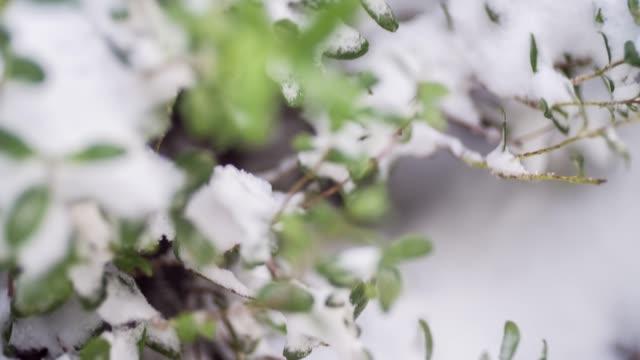 detail der baum zweige und blätter im schnee bedeckt - ast pflanzenbestandteil stock-videos und b-roll-filmmaterial