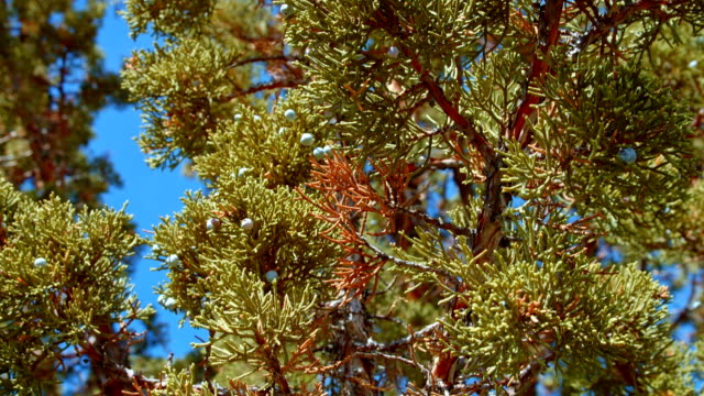 Detail of western juniper tree and blue sky 1 Spring Sutton Mountain John Day Great Basin High Desert Columbia Plateau