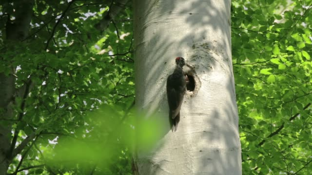 detail of woodpecker (picidae) feeding chick - baden wurttemberg stock videos and b-roll footage
