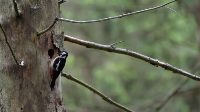 detail of woodpecker (picidae) - 10 seconds or greater stock videos & royalty-free footage