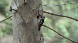 Detail of woodpecker (Picidae)