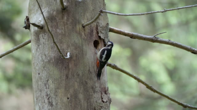 detail of woodpecker (picidae) - bird's nest stock videos & royalty-free footage
