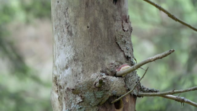 detail of woodpecker (picidae) - zoology stock videos & royalty-free footage
