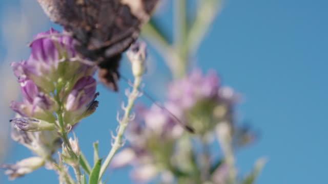 vídeos y material grabado en eventos de stock de disparo de detalle de un insecto en una flor silvestre - mariposa lepidópteros