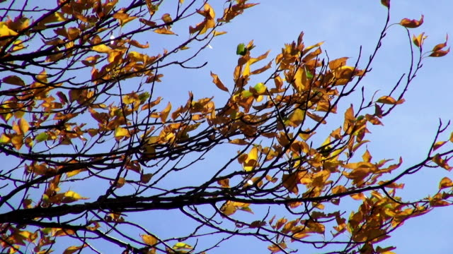 detail shot of golden yellow leaves blowing in the wind with bluesy in background. - glacier national park us stock videos and b-roll footage