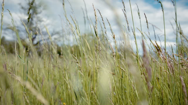 detail shot of tall grass blowing in a field - tall high stock videos & royalty-free footage