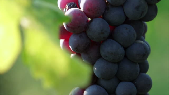 details bunch of grapes with sun - grape stock videos & royalty-free footage