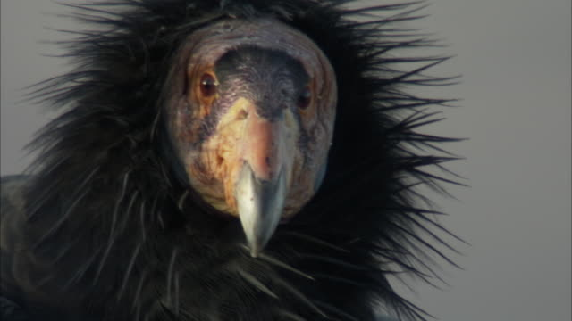 details of california condor beak framed with ruffled feathers - california condor stock videos and b-roll footage