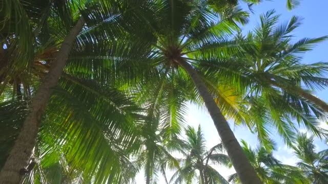 Details of palm fronds and palm trees on a tropical island. - Slow Motion