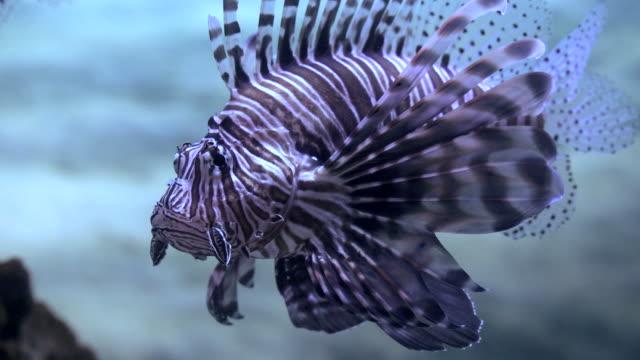 devil firefish - drachenkopf stock-videos und b-roll-filmmaterial