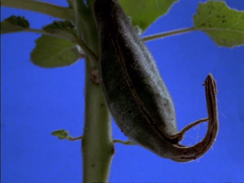t/l cu devil's claw seed pod opening, usa - plant pod stock videos & royalty-free footage