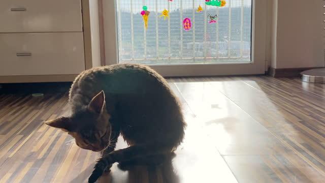 vídeos de stock, filmes e b-roll de devon rex gato doméstico após banho secar - domestic animals