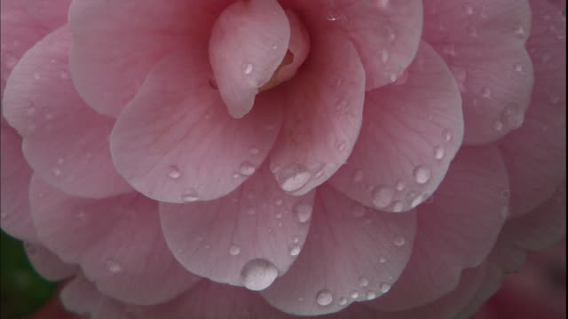 Dew clings to pink flower petals.