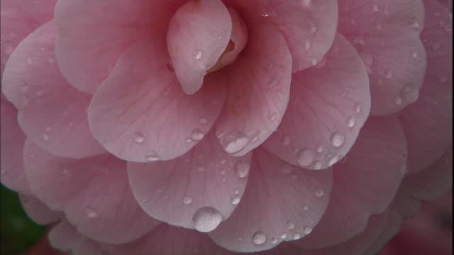 vidéos et rushes de dew clings to pink flower petals. - rosée