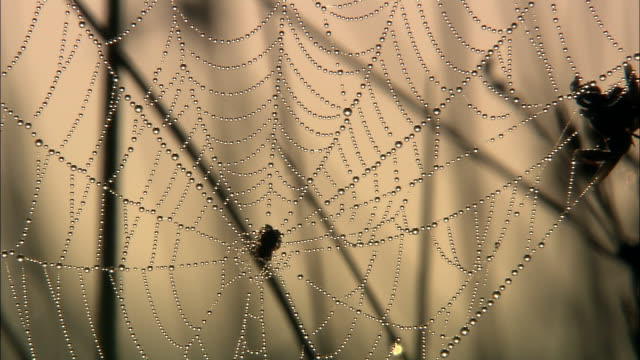 dew covered spider web at dawn, richmond park, london, uk - morning dew stock videos & royalty-free footage
