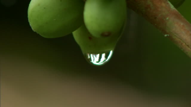 a dew drop hangs from a green seed. - plant pod stock videos & royalty-free footage