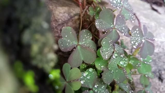dew drop on clover leaf - clover leaf shape stock videos and b-roll footage