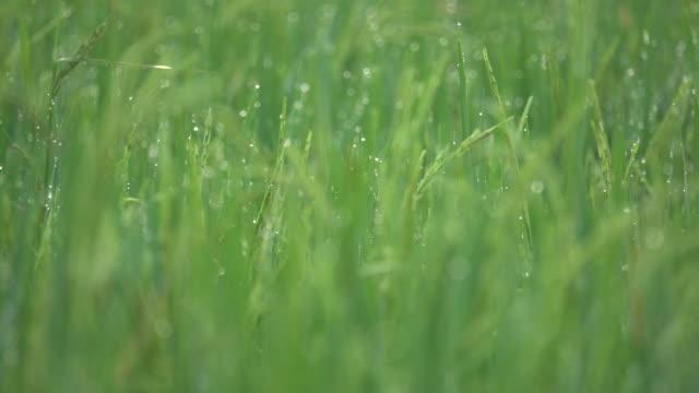 dew drop on rice field - wet stock videos & royalty-free footage