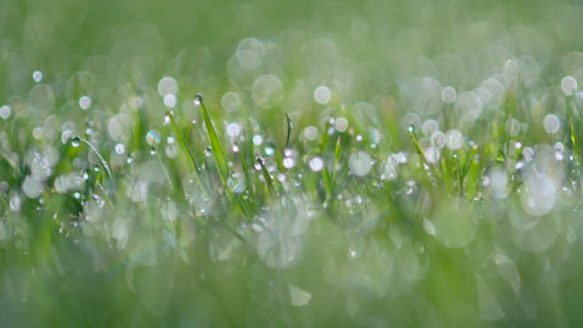 vídeos de stock e filmes b-roll de dew drops at morning on grass at back lit. bavaria, germany. - back lit