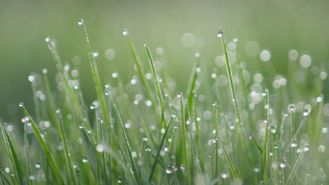 dew drops at morning on grass at back lit. - back lit video stock e b–roll
