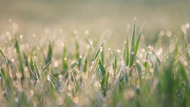 dew drops at morning on green wheat at back lit. bavaria, germany. - morning dew stock videos & royalty-free footage