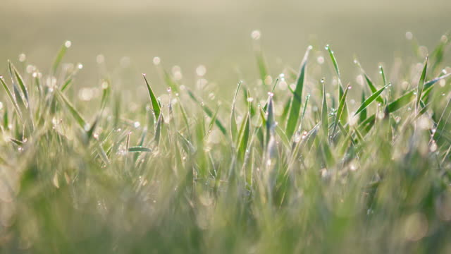 dew drops at morning on green wheat at back lit. - back lit video stock e b–roll