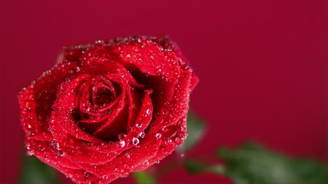 dew drops falling from red rose on red background - とげのある点の映像素材/bロール